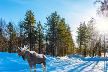 Moose with powerful horns resting in forest