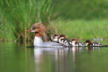 Female goosander, mergus merganser, and babies. Wildlife in Czech.