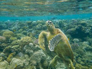 turtle floats near picturesque corals