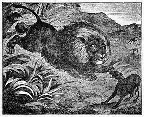 Lion attacks scared dog in the jungle with a terrible ambush. Old Illustration by unidentified author, published on Magasin Pittoresque, Paris, 1834