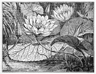 Leaves, flowers and buds of White Egyptian Lotus (Nymphaea lotus). Old Illustration by unidentified author, published on Magasin Pittoresque, Paris, 1834