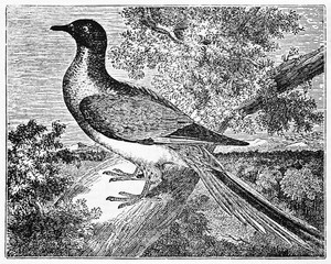 Bird on a branch, passenger pigeon (Ectopistes migratorius) extinct since 1914. Old Illustration by unidentified author, published on Magasin Pittoresque, Paris, 1834