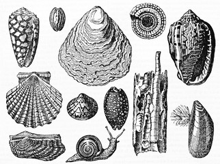 Set of various isolated shell typologies and a snail on white background. Old Illustration by Andrew Best and Leloir published on Magasin Pittoresque Paris 1834
