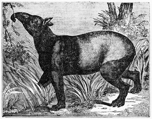 Malayan tapir (Tapirus indicus) looking for vegetal food in his natural environment, a forest or a jungle. Old Illustration by unidentified author published on Magasin Pittoresque Paris 1834