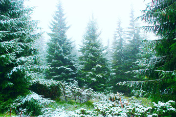 forest with fir-trees after the first snow in the year