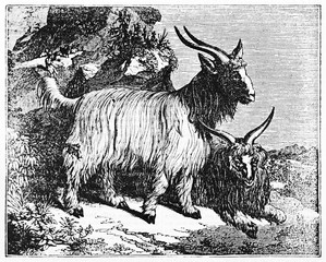 Two Cashmere goat (Capra hircus) on the rocks, one standing and one seated on the ground. Old Illustration by unidentified author published on Magasin Pittoresque Paris 1834