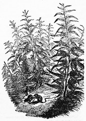 Hemp plants and two little rodents hiding between them. Old Illustration by unidentified author published on Magasin Pittoresque Paris 1834