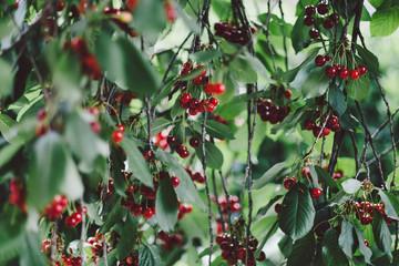Cherry fruit on tree
