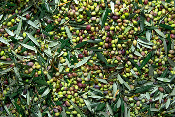 Harvested fresh olives in a field in Crete, Greece for olive oil production.