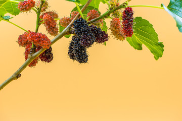 The mulberry fruits on the tree isolated on yellow background