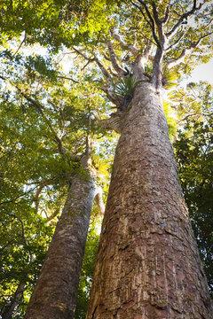 Kauri Trees Northland New Zealand