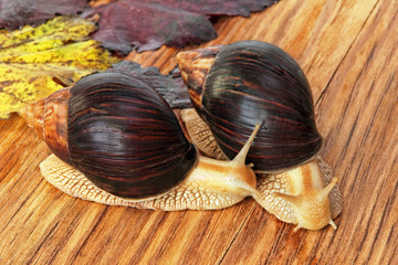 Two Giant african Achatina snails on wooden background with grape.