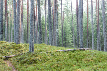 pine tree forest with moss covered ground in late autumn