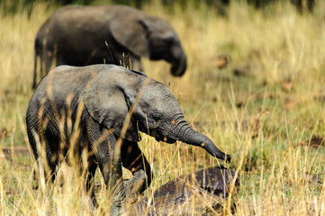 Baby elephant in grass