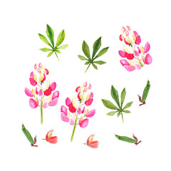 Pink lupine. Watercolor illustration. Isolated on white.