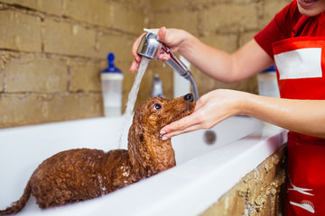 Miniature red poodle at grooming salon having bath.