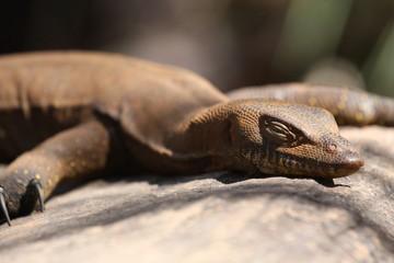 Closeup of dozing sunbathing Goanna
