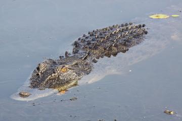 yellow glowing eyes of salt water crocodile (alligator) in water