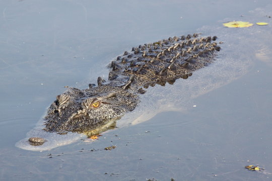 yellow glowing eyes of salt water crocodile (alligator) in water