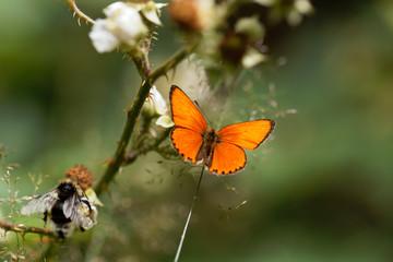 Scarce copper butterfly, Lycaena virgaureae