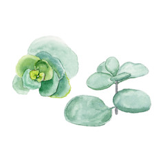 Succulent isolated on a white background. Watercolor hand drawn illustration