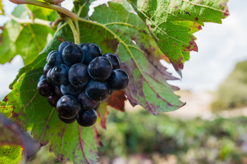 Bunch of purple grapes hanging on vine stock at wine yard, plantation in Spain