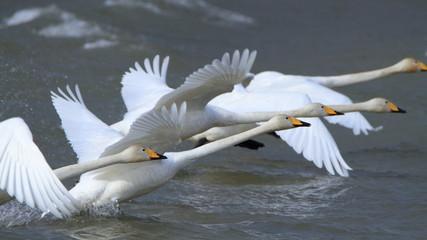 助走する白鳥(16:9) Swans take off