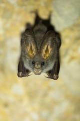 Megaderma Spasma wild bat