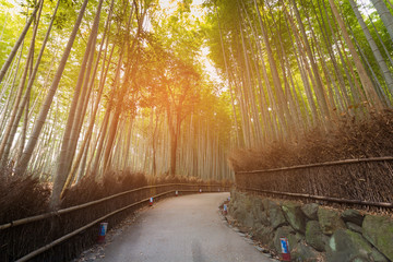 Tropical bamboo forest with walking way, Kyoto Japan