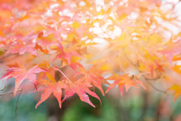 Autumn maple leaf with blurred natural background
