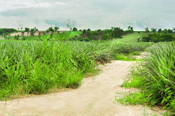Road to green forest in Pineapple farm. Countryside Landscape background