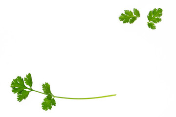 closeup of coriander leaves on white background with copy space