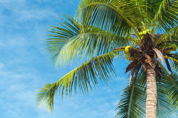 Green coconut palm tree above blue sky