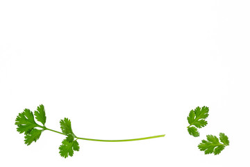 fresh coriander leaves isolated on white background