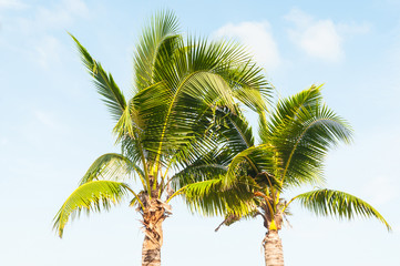 Two coconut palms above blue sky tropical background