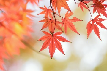 Macro details of vibrant colored Japanese Autumn Maple leaves with blurred background