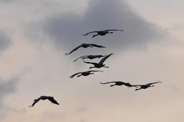 Printed roller blinds Bird Naturschauspiel, Kraniche fliegen bei Abenddämmerung am Novemberhimmel