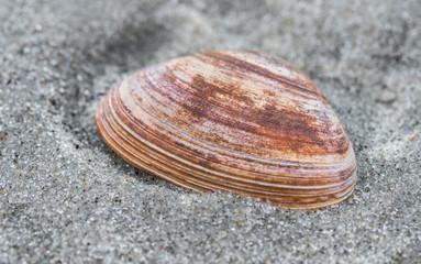 Rote Muschel im Sand