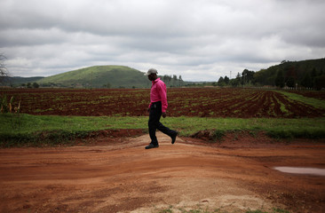 A man walks past a field used to grow maize in Chishawasha village, 27 km east of the capital Harare, Zimbabwe