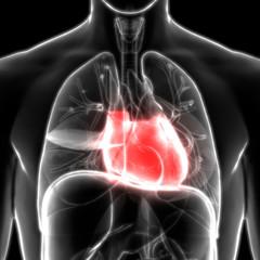Human Body Organs (Heart Anatomy)