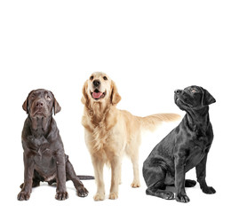 Cute Labrador Retriever dogs on white background