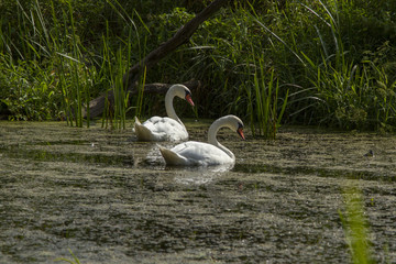 a couple of swans in the wild. mute swan (Cygnus olor) in nature. mute swan (Cygnus olor)