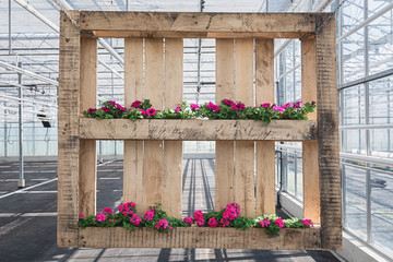 Wooden pallet decorated with petunias and geraniums in a greenhouse in The Netherlands