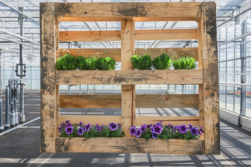 Wooden pallet decorated with petunias and lilac flowers in a greenhouse in The Netherlands