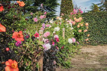 Beautiful chrisants and dahlias full of flowers in the autumn garden