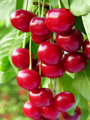 close-up of ripe cherries on a tree in the garden, vertical composition