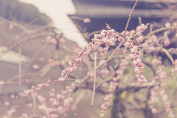 Beautiful plum blossom in Kiyomizu-dera temple in Kyoto