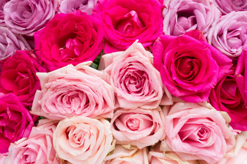 Violet and bright and light pink blooming fresh rose flowers background
