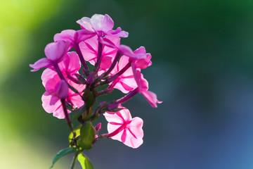 Wall Mural - Bright pink phlox flowers in summer garden
