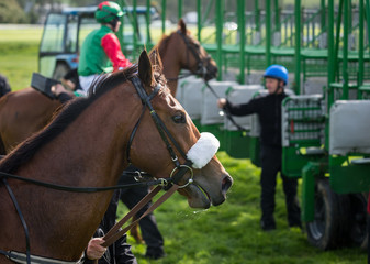 Close-up on race horse and jockey near the start gate
